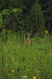 Doe in a meadow Stock Photo