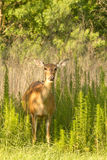 Doe in the meadow Royalty Free Stock Photos