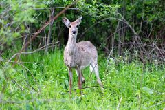 Doe in a Meadow. I was on a walk when I spotted her through the brush Stock Photography
