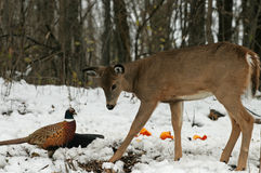 Doe meets Pheasant Stock Images