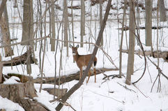 Doe in Metro Parks. Doe found in Cleveland Metroparks system Royalty Free Stock Photography