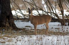 Doe in MetroParks. Doe photographed in late winter in the Metroparks system of Cleveland Royalty Free Stock Photography