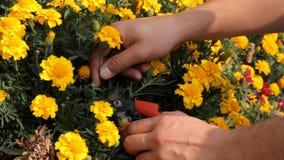 Doe mijn werk Sluit van snoeischaar in handen van professionele toegewijde bloemistholding het omhoog en snijdend de bloemen stock video
