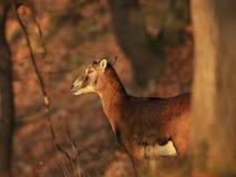 Doe mouflon. Mouflon doe in autumn orange forest Royalty Free Stock Photography
