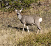 Doe mule deer in grass with pine tree in background Royalty Free Stock Photo