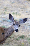 Doe Mule Deer Stock Images