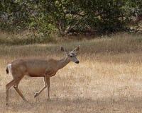 Doe. A Mule Deer doe in search of a juicy breakfast on a dry plain Stock Photography