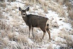Doe Mule Deer royalty free stock images