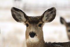 Doe Mule Deer Stock Photography