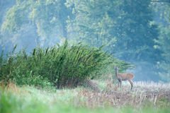 Doe in nature. Young doe at field in the morning Stock Photo