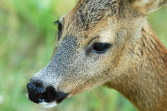 Doe in nature Royalty Free Stock Image