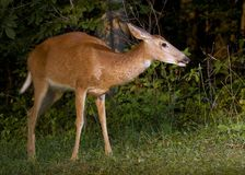 Doe near a forest Royalty Free Stock Photos