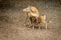Doe nursing her young Stock Photography