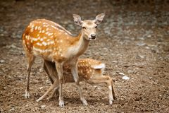 Doe nursing her young Royalty Free Stock Photo