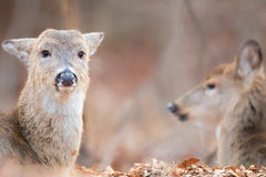 Doe Pair Resting Stock Images
