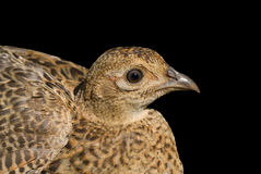 Doe of pheasant 2 Royalty Free Stock Images