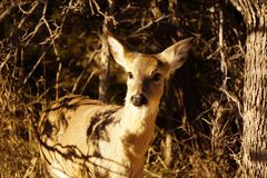 A doe. A picture of a doe deer in the Texas Royalty Free Stock Photo