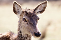 Doe portrait Royalty Free Stock Images