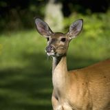 Doe pose Royalty Free Stock Photos