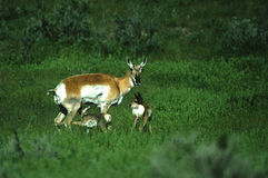 Doe Pronghorn With Two Fawns Stock Photo