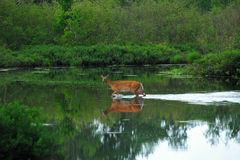Doe Reflection at Crossing Stock Images