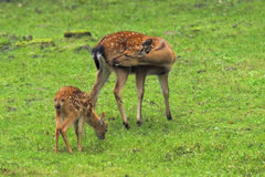 Doe and roecalf. Stock Photography