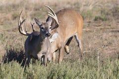 Doe running away from big whitetail buck. Doe in heat running away from whitetail buck Stock Photos