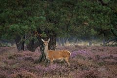 Doe during the rutting season in the Veluwe Stock Photography