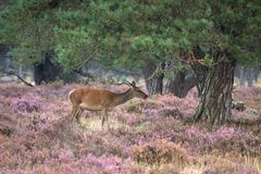 Doe during the rutting season in the Veluwe Stock Photo