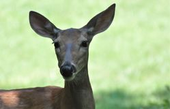 Doe in Shadow. Mature doe grazing in shadow Royalty Free Stock Image