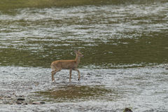 Doe in shallow water. Stock Photography