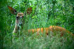 Doe Sitting in Green Grass Stock Photo