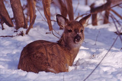 Doe in the snow. Yearling doe chews her cud while bedding in the snow stock image