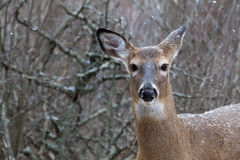 Doe and snow Royalty Free Stock Photography