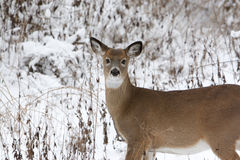 Doe in the Snow. Photo of a North American whitetail femal deer (doe) in the snow Stock Photos