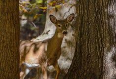 Doe som går runt om träd Arkivfoto
