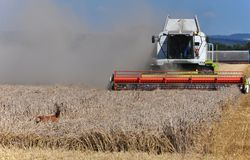 Doe stands in the grain ahead of the harvester. stock images