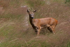A doe in a summer field. A beautiful doe passing by peacefully in a field in summer Stock Photos