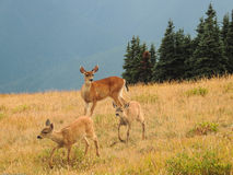 Doe and two fawns at Hurricane Ridge, Olympic National Park Stock Photos