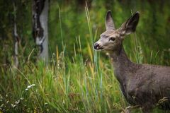 Doe Up Close in the Tall Grass. A doe up close in the tall grass looking to the left with ears at attention Royalty Free Stock Images