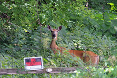 A Doe White Tail Deer - No Trespassing Stock Photography