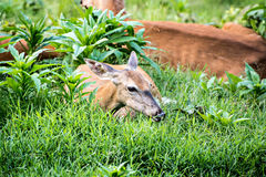 Doe Whitetail Deer Resting Stock Image