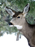 Doe in Winter. Female mule deer in the forest during a winter snow stock images