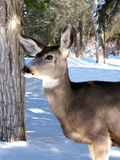 Doe in the Woods. Alert female mule deer in a snowy wood stock photography