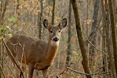 Doe In Woods Stock Images