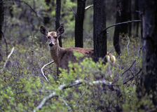 Doe In Woods Stock Photos
