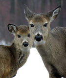 Doe & Yearling In Winter. A whitetail doe with yearling in late winter snow royalty free stock photos