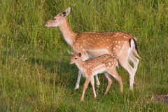 Doe with a young deer. In the meadow Stock Photos