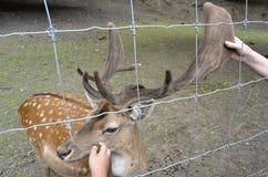 Doe in zoo Stock Image