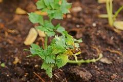 Doença de planta, ferrugem de folha do aipo do fungo Foto de Stock